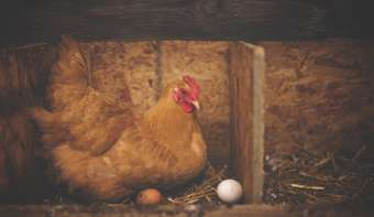Read more about National Poultry Day