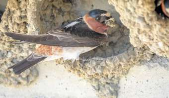 Read more about Swallows Depart from San Juan Capistrano Day