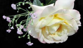 Read more about National Peace Rose Day