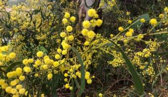Read more about National Wattle Day