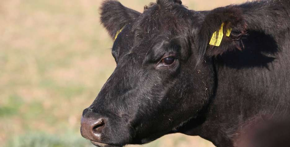 National Black Cow Day in USA in 2021