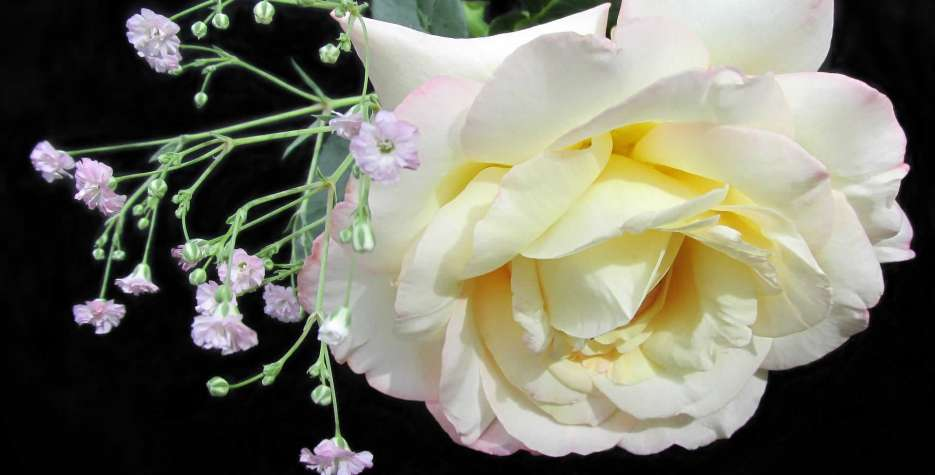 National Peace Rose Day in USA in 2021