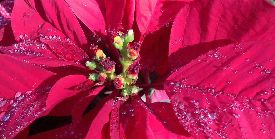 Poinsettia Day in USA in 2021